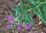 Photo of western ironweed flower clusters and leaves