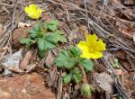 Photo of common cinquefoil plants with flowers
