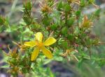 Photo of common St. John's-wort flower with spent flowers and fruits