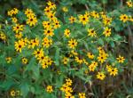 Photo of bushy clump of brown-eyed Susan plants.