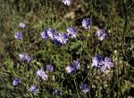 Photo of a chicory plant.