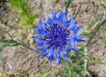 Photo of a cornflower, closeup of a flowerhead.