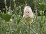 Photo of cut-leaved teasel showing flowerhead and joined, cuplike leaves.