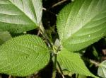 Photo of wood nettle leaves at top of plant.