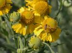 Photo of autumn sneezeweed flowerheads, closeup.