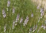 Photo of narrow-leaved vervain plants in bloom.
