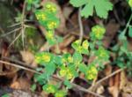 Photo of wood spurge flowers.