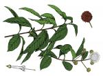 Illustration of buttonbush leaves, flowers, fruits.