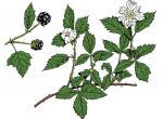 Illustration of dewberry leaves, flowers, fruits.