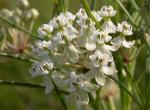 Photo of whorled milkweed flowers.