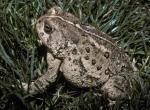 Photo of a Woodhouse's toad in lawn grass.