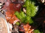 Picture of a patch of filamentous green algae floating in a stream.