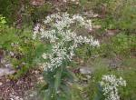 Photo of a tall thoroughwort plant in bloom.