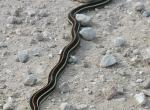 Black snake with orange and yellow stripes crossing a gravel road.