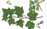 Illustration of American black currant leaves, flowers, fruits
