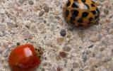 Two Asian lady beetles, one orange with several black spots, the other red with no spots