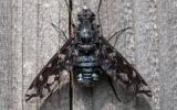Photo of a tiger bee fly resting on the wood of a privacy fence