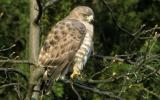 Photo of a broad-winged hawk perched on a branch in the sunshine.