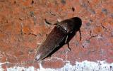 Click beetle resting on a brick wall