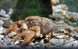 Photo of a digger crayfish.