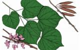 Illustration of eastern redbud leaves, flowers, fruits.