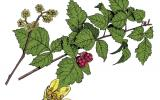 Illustration of fragrant sumac leaves, flowers, fruits.