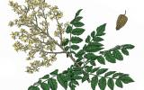 Illustration of golden rain tree leaves, flowers, fruit.
