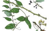 Illustration of greenbrier leaves, flowers, fruits