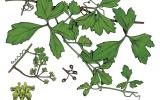 Illustration of marine vine leaves, flowers, fruit
