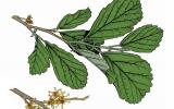 Illustration of Ozark witch-hazel leaves, flowers, fruits.