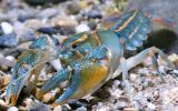 Photo of a painted devil crayfish standing on a sandy substrate
