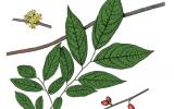 Illustration of pondberry leaves, flowers, fruits.