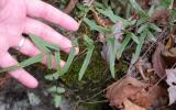 Photo of purple cliff brake growing from a rock crevice, with a hand propping up one of the fronds