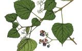 Illustration of raccoon grape leaves, flowers, fruit