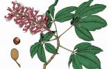 Illustration of red buckeye leaves, flowers, fruits.