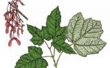 Illustration of red maple leaves and fruits.