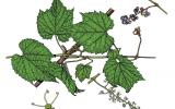 Illustration of riverbank grape leaves, flowers, fruit