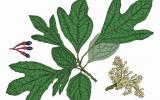 Illustration of sassafras leaves, flowers, fruit.