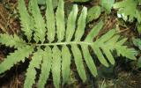 Photo of a sensitive fern, vegetative leaf