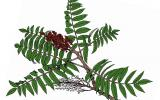 Illustration of smooth sumac leaves, flowers, fruits.