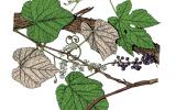 Illustration of summer grape leaves, flowers, fruit