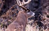 Photo of white tailed buck