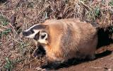 Photo of badger