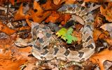 Image of a timber rattlesnake