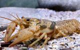 Photo of a Big Creek crayfish.