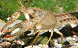 Photo of a papershell crayfish, also called calico crayfish.