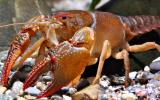 Photo of a devil crayfish.