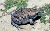 Image of an eastern narrow-mouthed toad