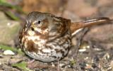 Image of a fox sparrow