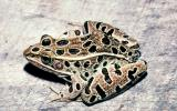Image of a northern leopard frog